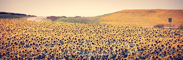 Presho Sunflower Field