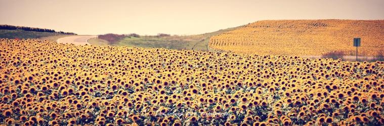 Presho Sunflower Field