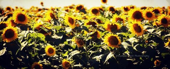 Presho Sunflowers cu