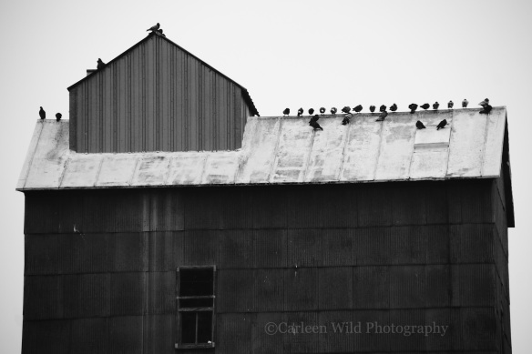 Pigeons atop one of the old granaries in downtown Flandreau.